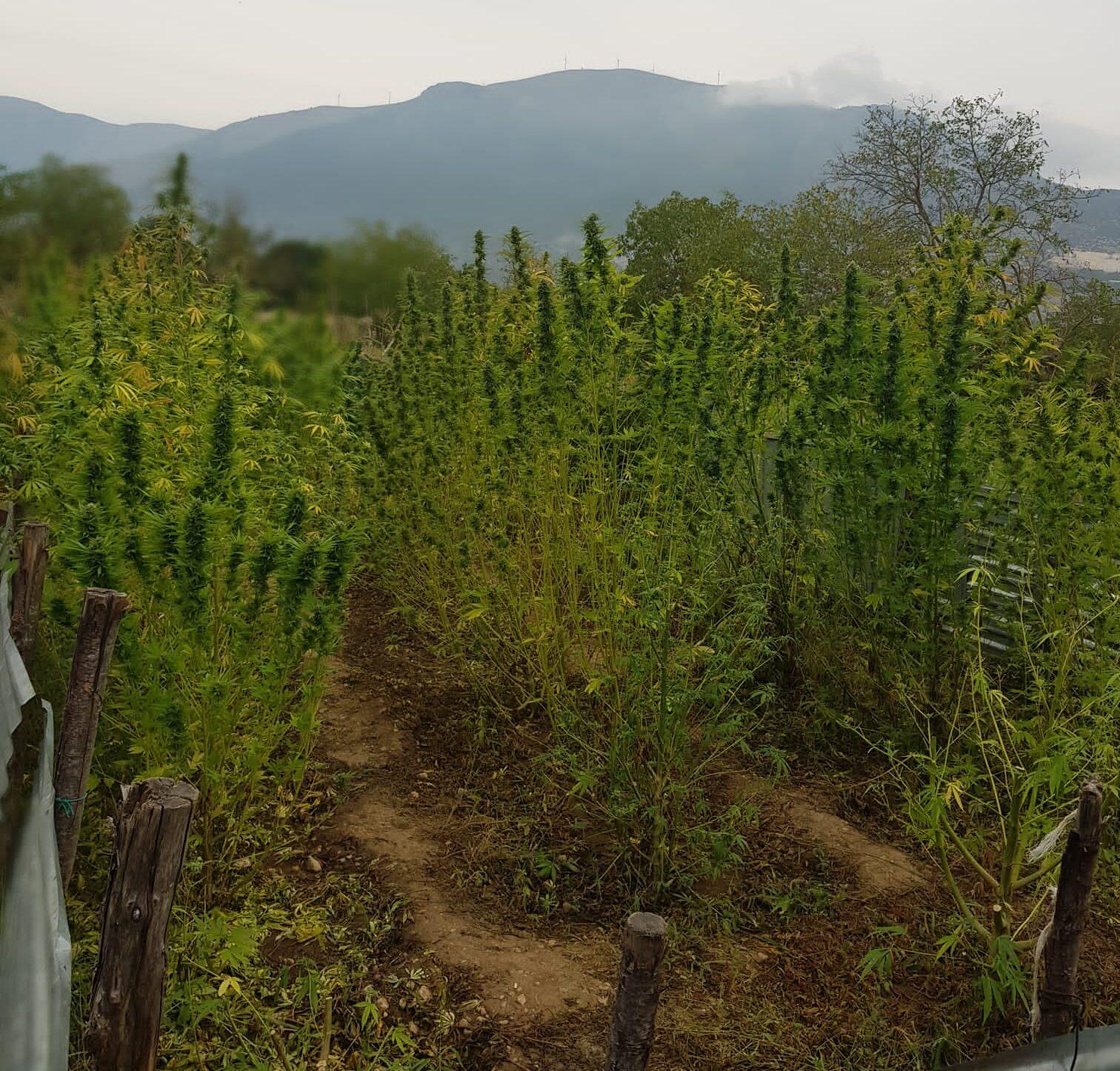 Scoperta piantagione di marijuana e sequestrati 12,5 kg di prodotto