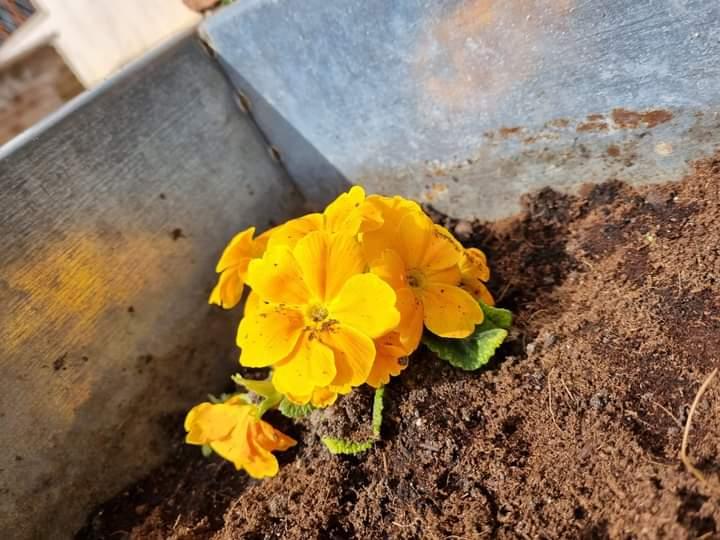 Il comune di Sante Marie pianta le primule, simbolo della campagna vaccinale, per trasmettere un messaggio di speranza