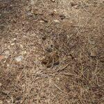 Torna la processionaria: segnalati nidi in tutta Avezzano