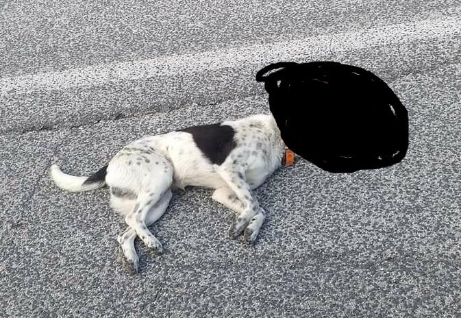 Fugge dopo aver investito ed ucciso un cane
