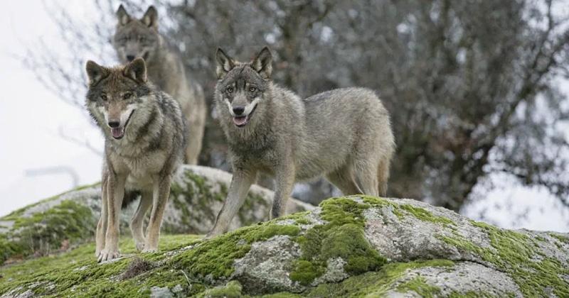 Una coppia di lupi avvistati sulla SS 83 verso Fucino, agli automobilisti si richiede massima attenzione