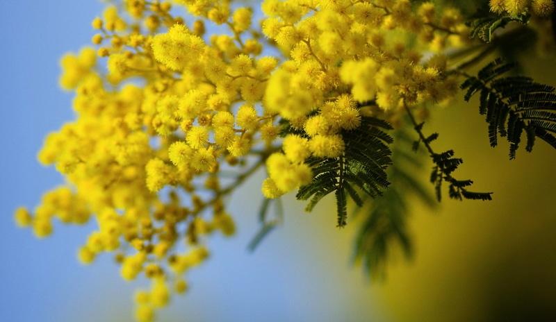 Perché l'8 marzo, per la Festa della Donna, si regalano le mimose?