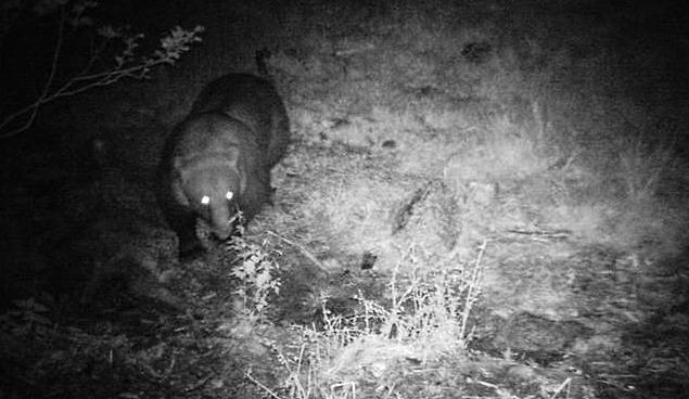 Un orso si aggira in paese di notte a caccia di miele