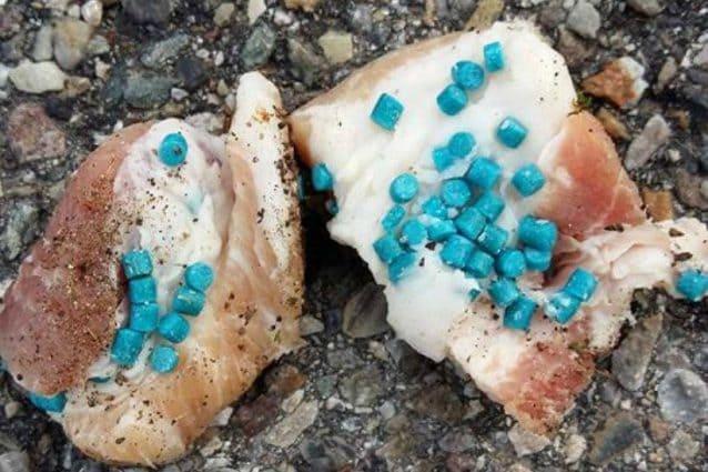 Bocconi avvelenati nel Parco Nazionale d'Abruzzo: trovate carcasse di animali selvatici, potenziati i controlli ed unità cinofile antiveleno in azione