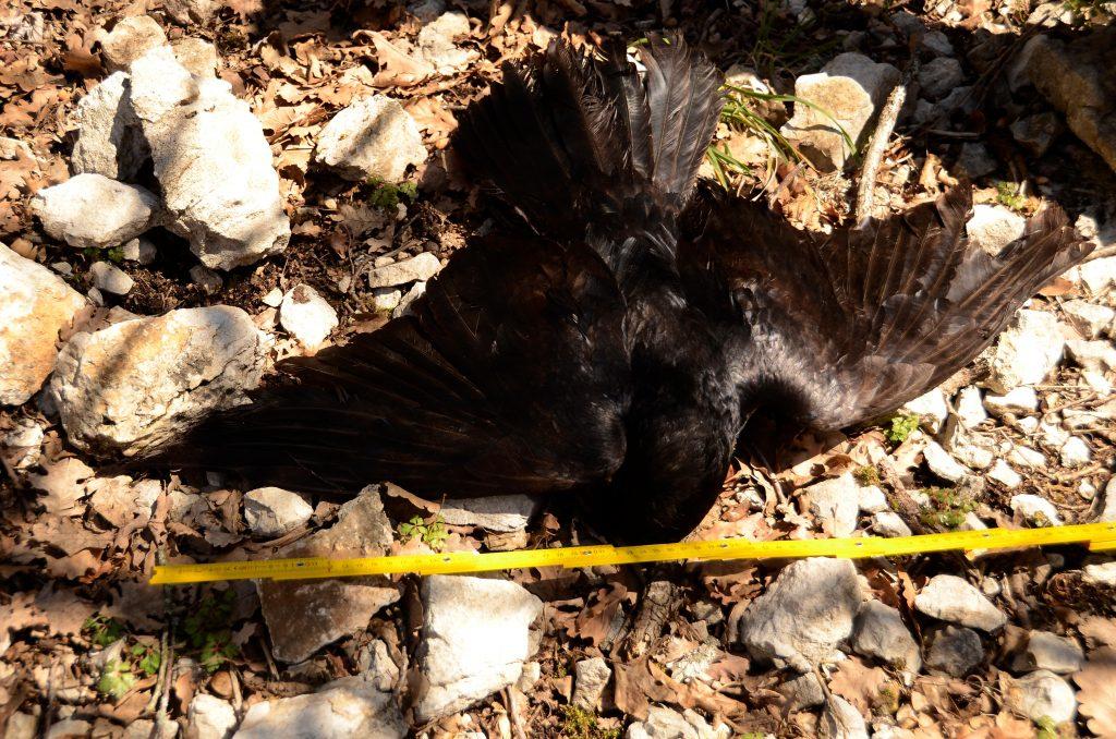 Rinvenute carcasse di animali selvatici avvelenati nelle Terre dell'Orso