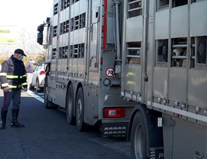 Trasporto animali vivi in provincia di L'Aquila - intensificati i controlli della polizia stradale