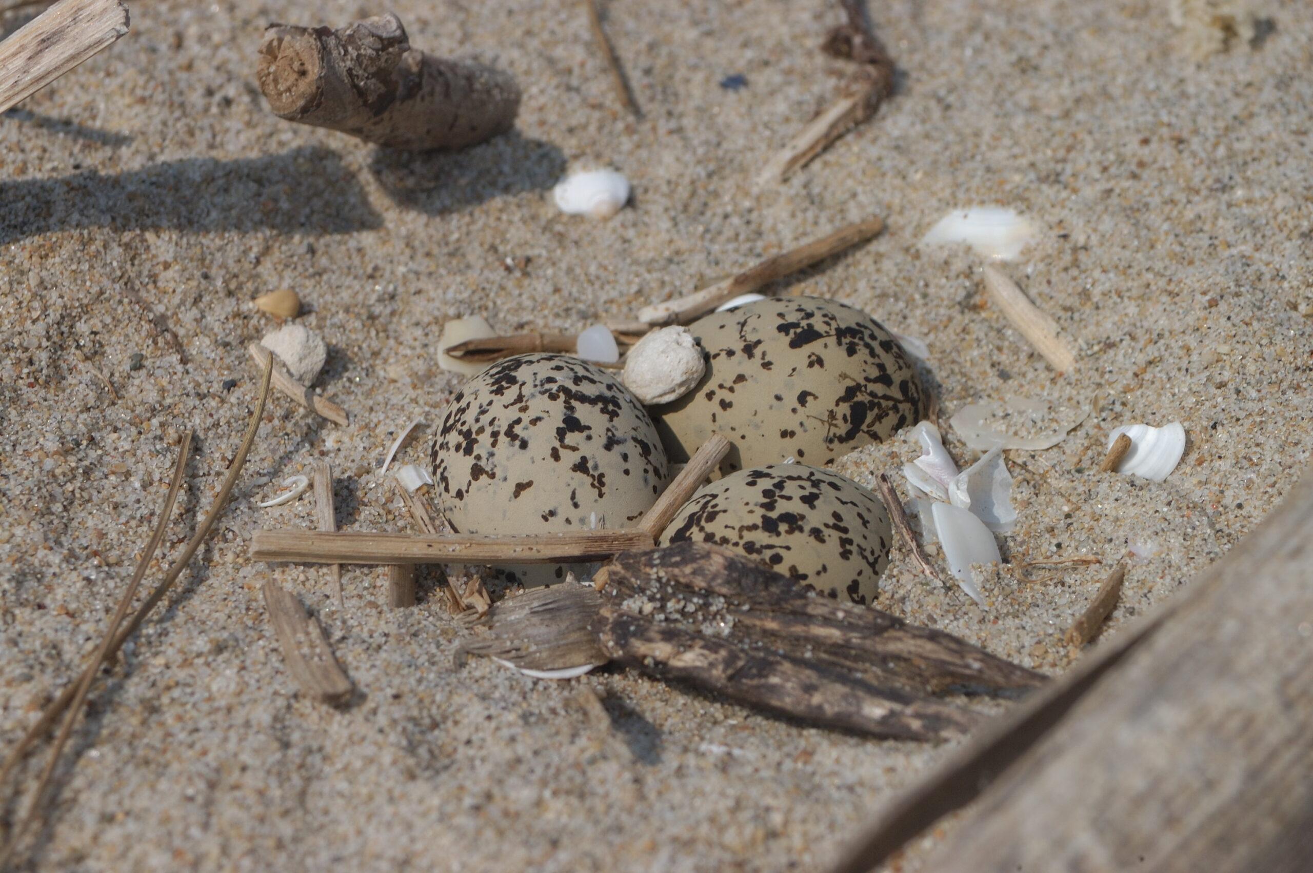 Il Progetto Salvafratino Abruzzo individua i primi nidi di Fratino sulla costa abruzzese