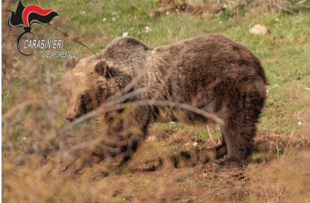"""Incursioni dell'orsa """"Amarena"""" con i suoi cuccioli. Carabinieri Forestali sorvegliano le aree dove è stata avvistata"""