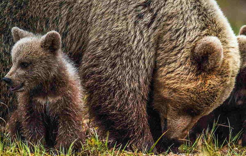 Attraversamento orsi e altri animali selvatici della sede autostradale: riunione in Prefettura