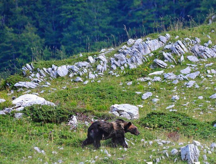 Nel primo weekend di via libera per gli spostamenti tra Regioni l'appello del PNALM per la sicurezza dell'orso