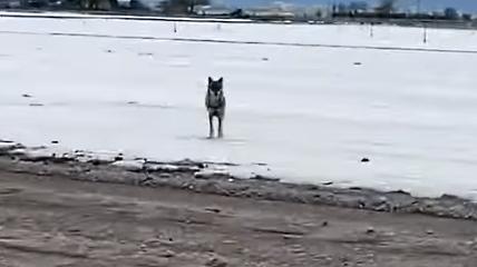 L'uomo che gioca con il lupo, nel Fucino accade anche questo (VIDEO)