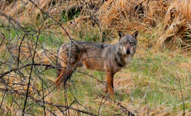 Un lupo avvistato all'interno di un giardino a Carsoli