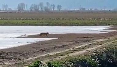 Due lupi in giro per Fucino nei pressi di San Benedetto dei Marsi (video)
