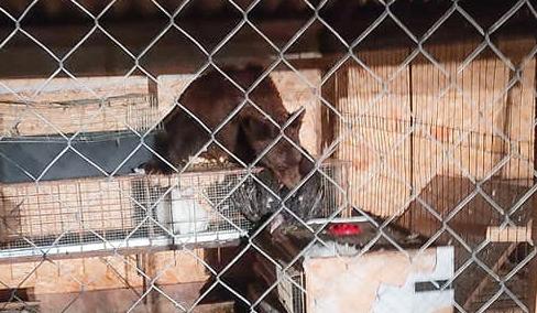 L'orsa Amarena e i suoi cuccioli fanno visita a un pollaio marsicano