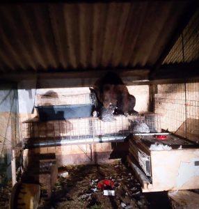 Mamma orsa e i suoi cuccioli fanno colazione a Pescina con: tacchini, galline e polli