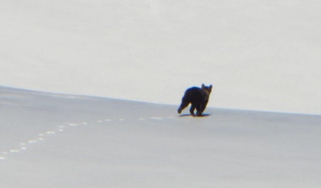 """Un giovane orso bruno marsicano avvistato ieri nella Riserva Naturale Statale """"Monte Velino"""""""