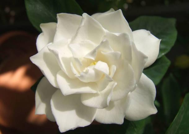 """Torna """"Bentornata Gardensia"""", fermiamo la sclerosi multipla con un fiore"""