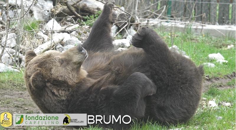 Un risveglio con tutta calma dell'orso Brumo. Il video del PNALM