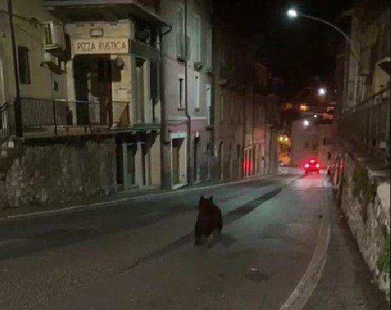 """Giovane orso marsicano a spasso per le le strade di Celano, Salviamo L'orso """"Convivere con l'orso è possibile ed è una sfida di civiltà in cui ognuno di noi deve impegnarsi"""""""