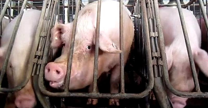 Stop ad allevamenti intensivi e all'uso delle gabbie per animali in Abruzzo, la richiesta di Pettinari