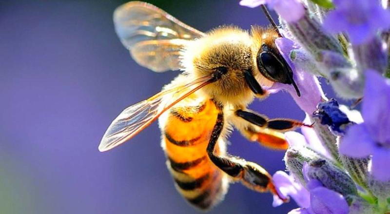 Giornata mondiale delle api, la loro tutela è fondamentale per conservare la biodiversità