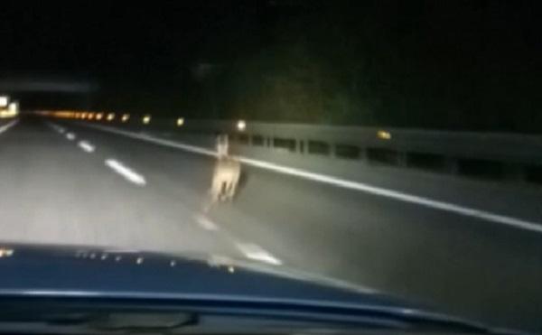 Capriolo entra in autostrada A/25 e la polizia stradale lo aiuta ad uscire (VIDEO)