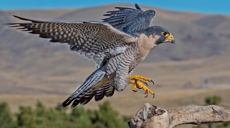 Gli emozionanti video del Falco pellegrino che imbecca i suoi pulcini in Abruzzo