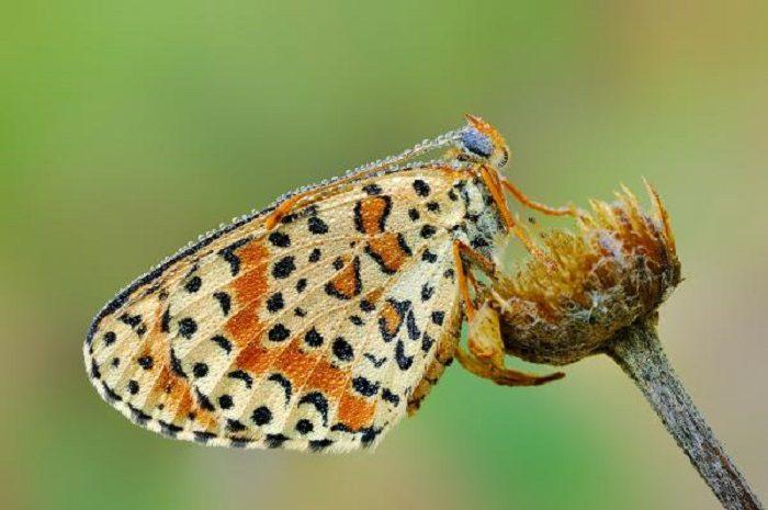 Il Parco Nazionale D'Abruzzo promuove il primo Webinar sulle Farfalle degli Appennini