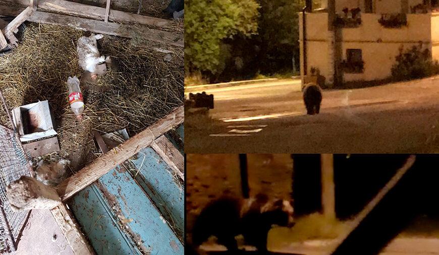 Orso va a spasso per la piazza del paese dopo che ha banchettato con polli e conigli