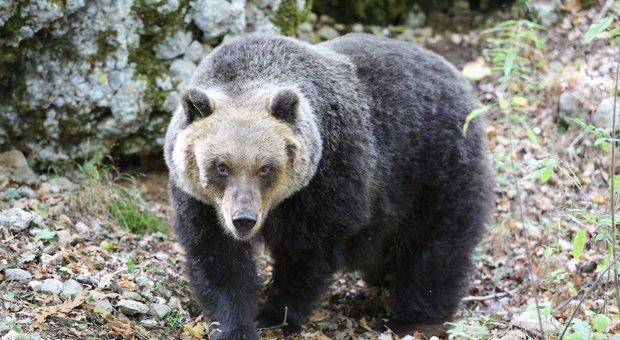 orso marsicano