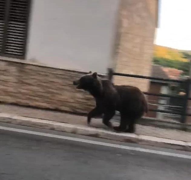 Orso a spasso nel centro della città di Pescina
