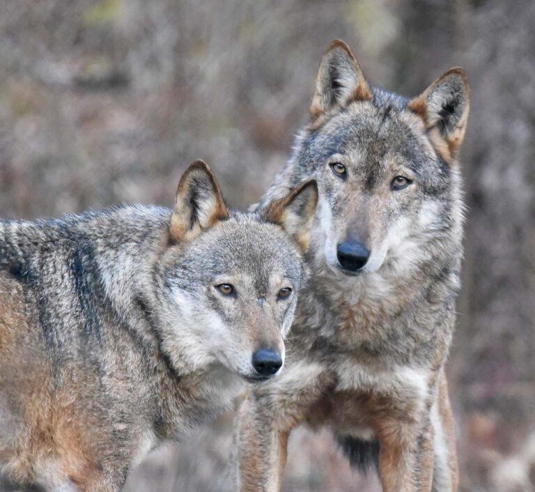 Il PNALM saluta Dacia e Er Bufera, la coppia di lupi appenninici dominante per molti anni