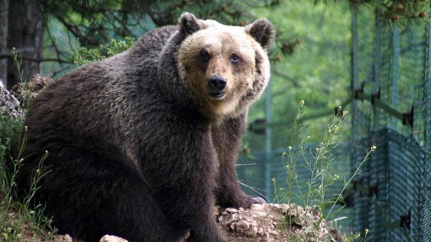Collarmele, scatta il divieto di avvicinarsi agli esemplari di orso marsicano. Ordinanza del sindaco Mostacci