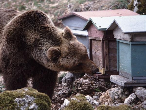 Oggi il personale tecnico del Pnalm incontra la popolazione di Collarmele sulla situazione dello stazionamento dell'orso nel territorio comunale