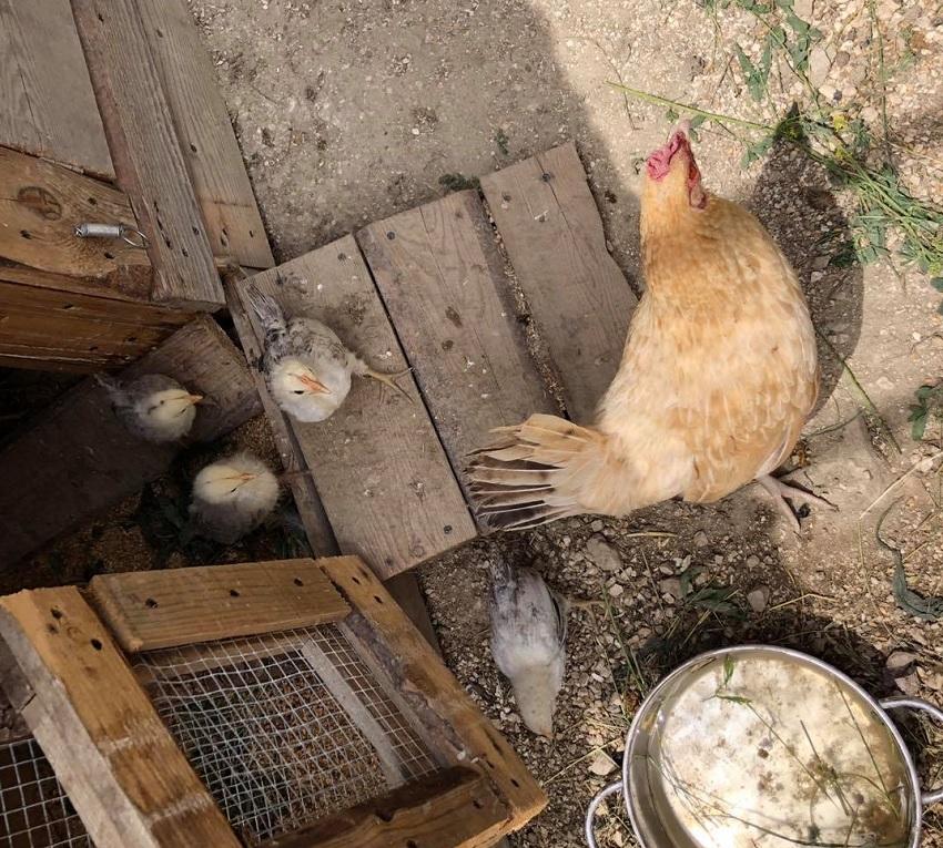 Altra visita dell'orso a Ortona dei Marsi, è strage di galline