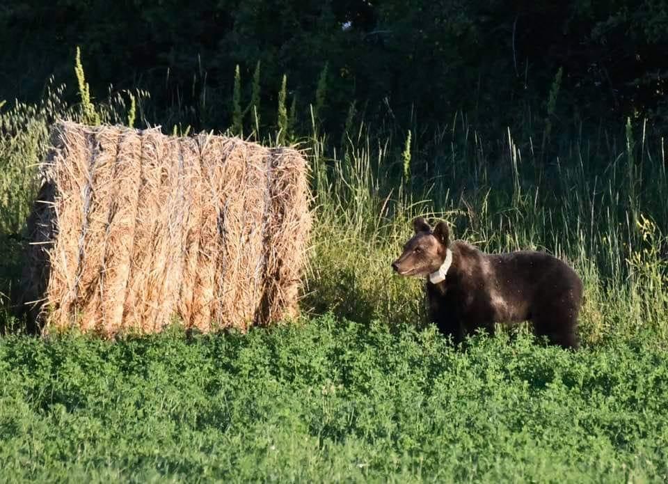 L'orso Juan Carrito a Collarmele, ecco la foto scattata ieri pomeriggio