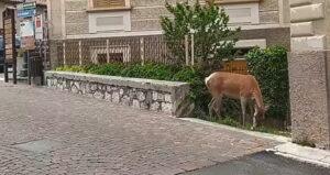Un cervo mangia l'erba nelle aiuole in piazza