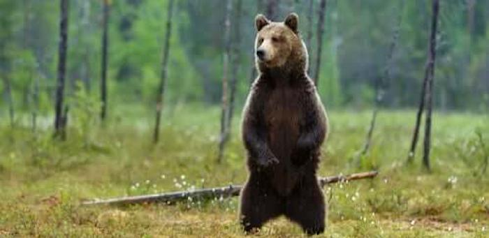 """Il cucciolo d'orso Juan Carrito avvistato nuovamente a Collarmele, il Sindaco Mostacci: """"Prudenza e rispetto"""""""