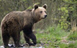 giovane orso