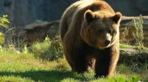 Nuovo accordo per la difesa dell'orso bruno marsicano