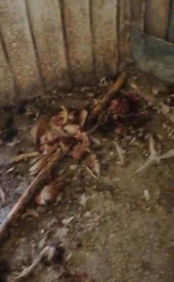 Nuova incursione dell'orso a Pescina ed è un'altra strage di galline