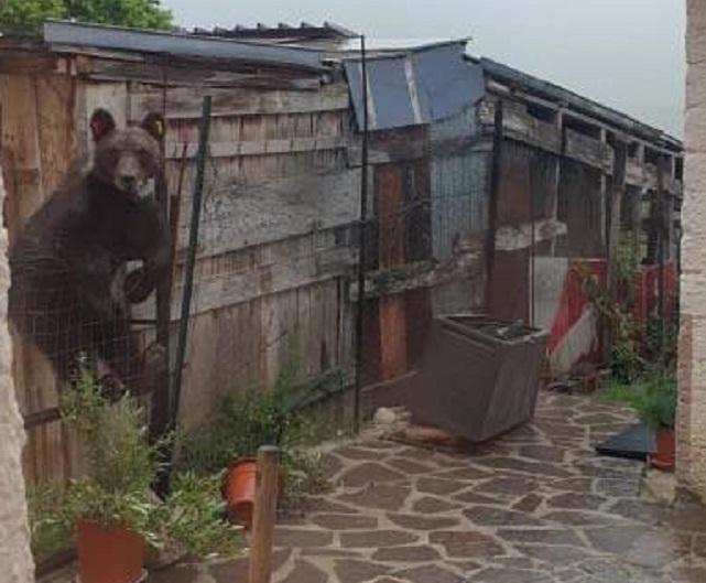 Ancora una visita dell'orso a Ortona dei Marsi, questa volta a due metri dalle abitazioni