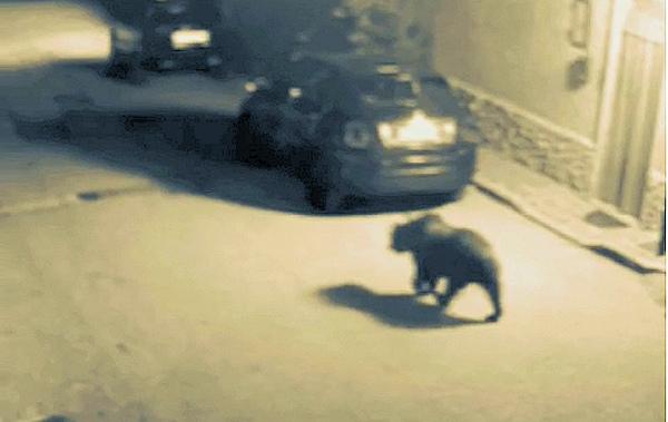 Orso confidente in giro per il paese in cerca di cibo