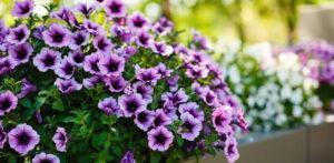 Piante e fiori abbelliranno piazze e strade di Sante Marie, domani la distribuzione