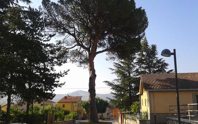 """Il pino di Massa d'Albe sarà rimosso, al suo posto un nuovo """"pinus pinea"""" in vaso"""