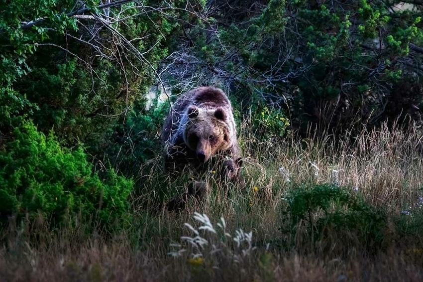 """""""Orsitudine"""", arriva lo spettacolo teatrale con l'orso marsicano"""