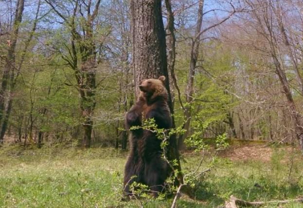 Il twist dell'orso a contatto con la corteccia di un albero