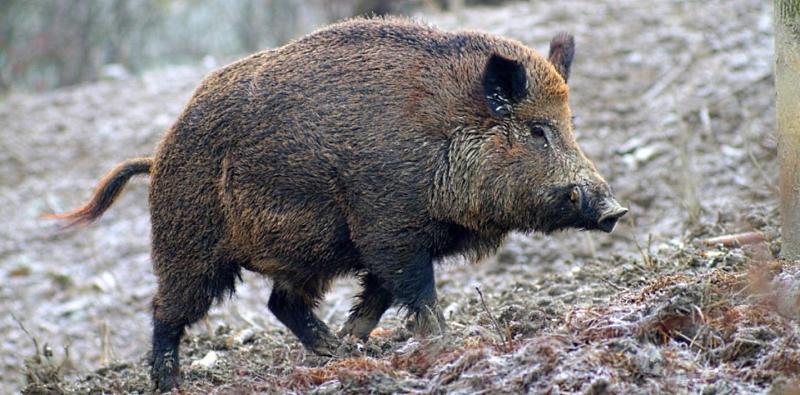 """Problema cinghiali. WWF Abruzzo: """"la caccia è la causa del problema, non la soluzione"""""""