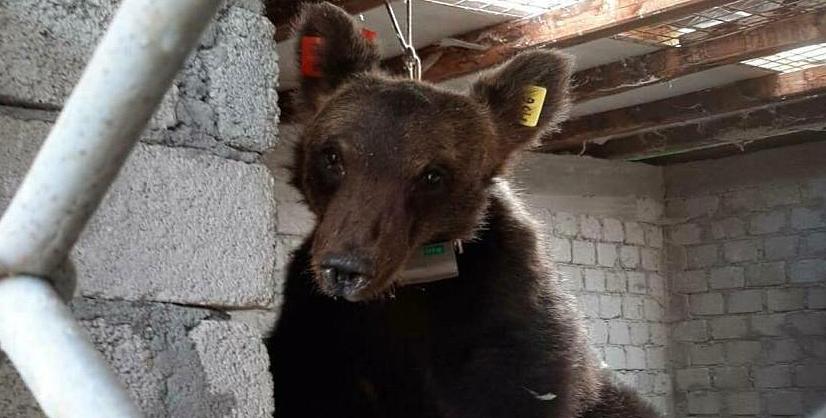 Juan Carrito: orso confidente, problematico o condizionato?