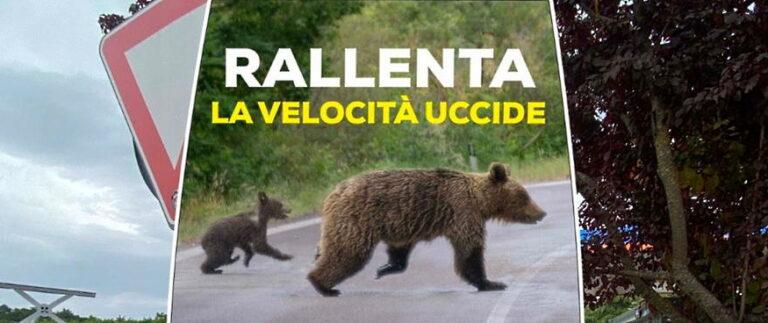 Orsi e altri animali selvatici che attraversano l'autostrada: riunione in Prefettura